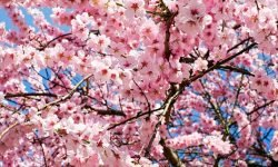 Dream About Cherry Blossom Tree: 31 Interpretations and Meanings