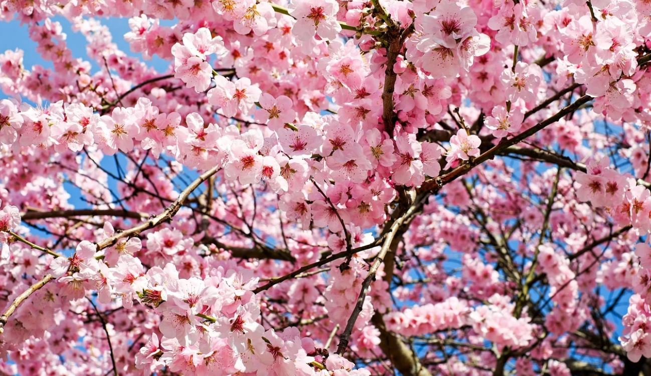 Dream About Cherry Blossom Tree