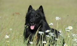 Black Dog in Dream: Meaning and Interpretation