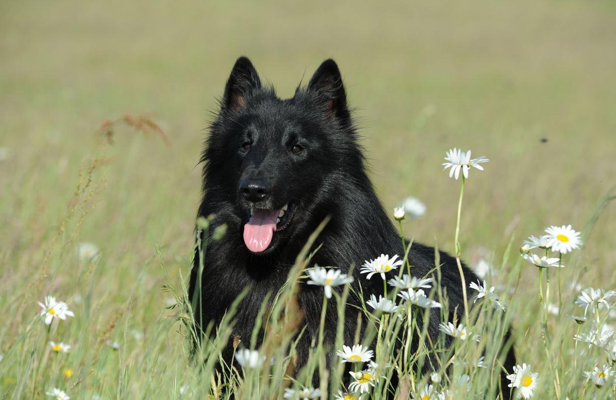 Black Dog in Dream