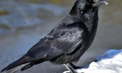 Dreams about Crows: 25 Types and Their Meanings