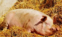 Dreams About Pigs: 33 Types & Their Meanings