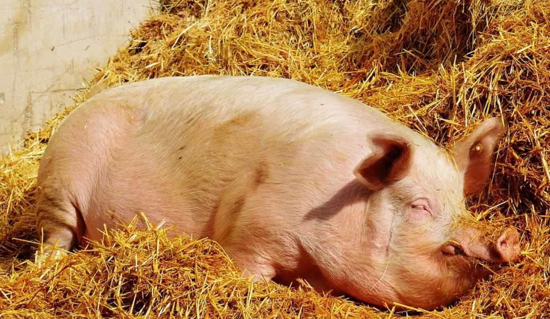 Dreams About Pigs