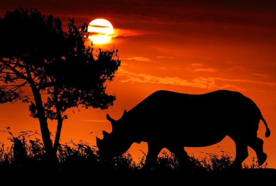 Rhino Dream